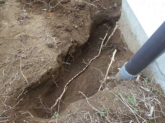 笹の芽が生えているところを掘ってみた