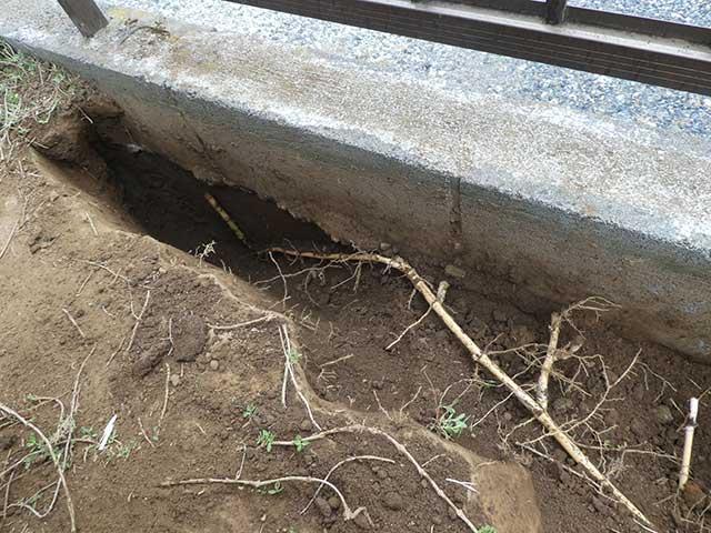 ブロック塀に当たって下に潜っていく笹の地下茎