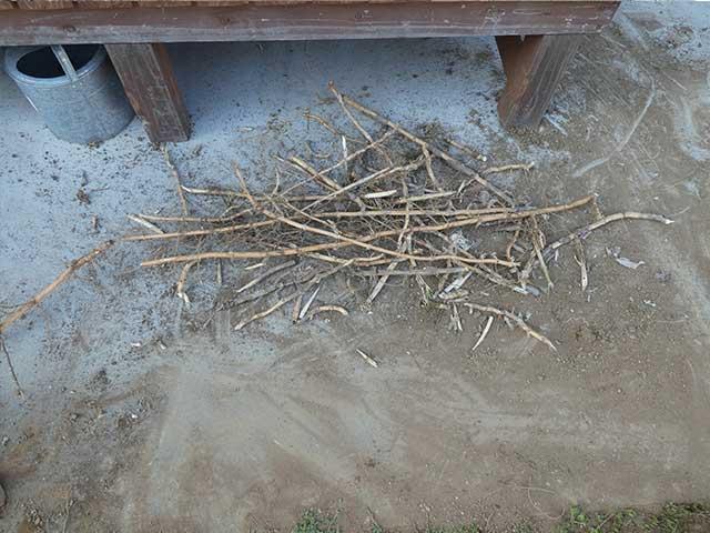 土を掘って切った笹の地下茎
